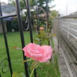 2021 我が家の庭 秋編 その1 ~バラの花、ミモザが成長、トウガラシ~
