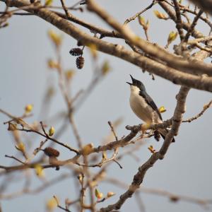 木の天辺で主張するコルリ