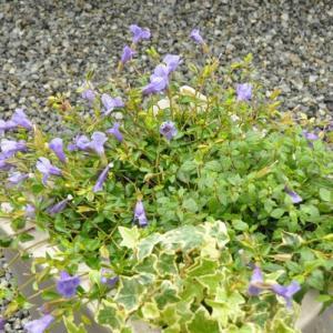 挿し芽と観葉植物