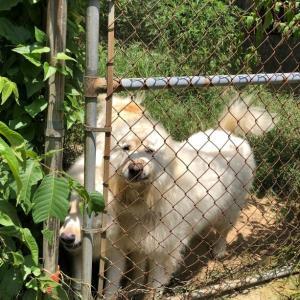 巨大化ピレネー犬【真夏の変化】