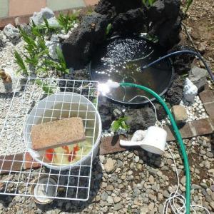 ランチュウの池(鉢)を綺麗にしました。