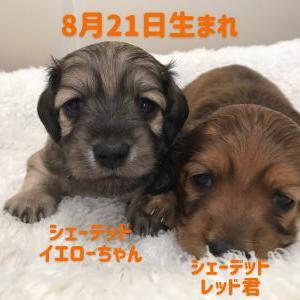 ◆8月21日生まれの子犬ちゃん(*'▽')