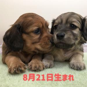 ◆8月21日生まれの子犬ちゃん(о´∀`о)