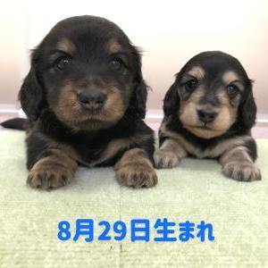 ◆8月29日生まれの子犬ちゃん(^^♪