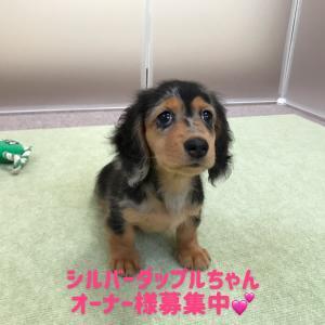 ◆シルバーダップルちゃん(^_-)-☆