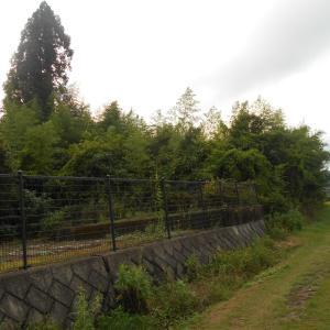 冬に竹を高さ1メートルでに切れば、枯れるのか?答え・・ここでは枯れませんでした。