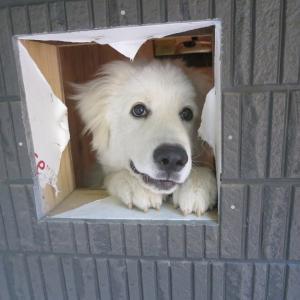 「深窓の令嬢」「夢見る少女」 ピレニーズのベルも7か月になりました。