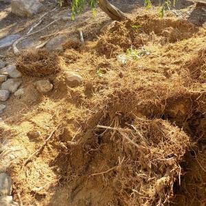 石と土と竹とクズの地下茎が絡み合うコロニーを特殊工具と刃物でカットする!
