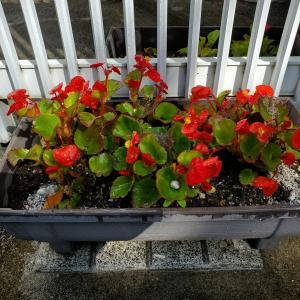 ささやかなガーデニング:花苗を植えました