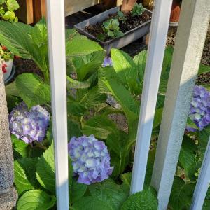 紫陽花&おうちクリーニング