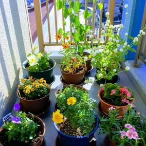 ベランダの花たち-キキョウが美しいです◆武道家パパの育休後日記