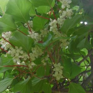 コクワ(サルナシ)の花