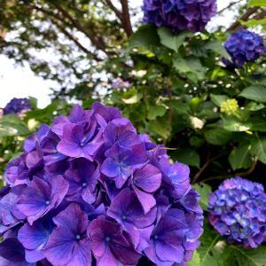 綺麗な紫色の紫陽花