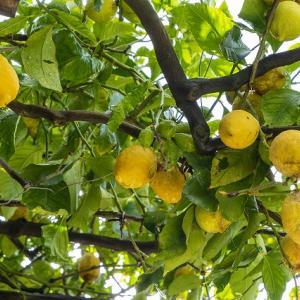 アマルフィ ミノーリの高台にあるレモン農園アグリツーリズモ