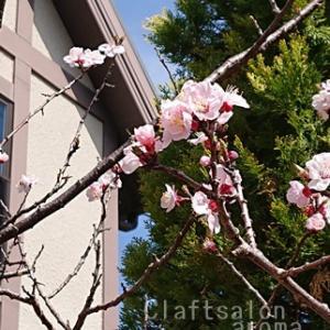今年の杏のお花は、ちょっぴりでした