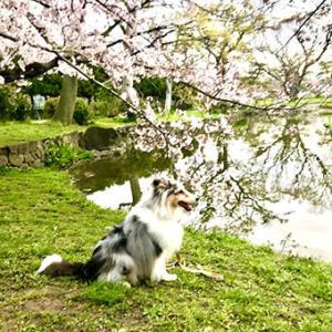 ★☆ 桜の時/曇天の桜の下で…。