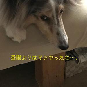 ★☆ 夜の散歩/暑いとわがままになる長毛犬