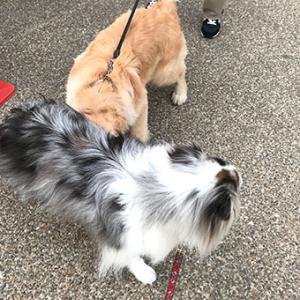 ★☆ ゴールデン・ペア/大型犬のパピーは神がかり的な可愛さ。