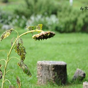 蒸し暑く 9月17日(木)曇り