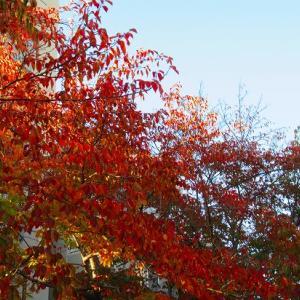 ビオラの植え付け準備&帰り道の紅葉