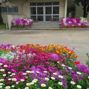 近場の桜 雨の学校