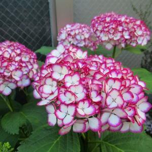 今日も水遣り 花苗の植え付けです