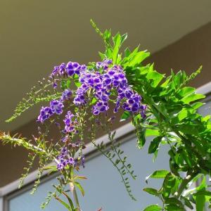 デュランタ・タカラヅカ&お花の撤去が続きます