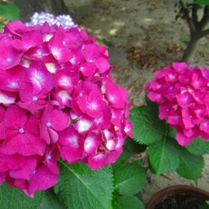 雨雨フレフレと紫陽花が言ってます
