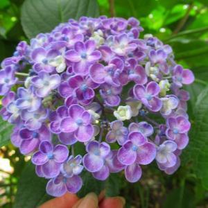 アサギマダラ今日もいた&紫陽花咲いたよ