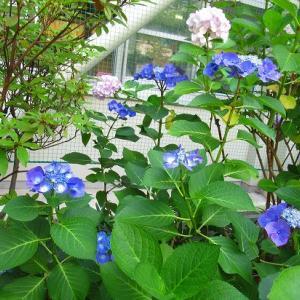 ブルーの紫陽花 花苗の植え付け