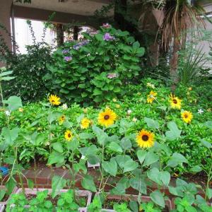 簡単寄せ植え&やっぱり続く根切り虫の被害