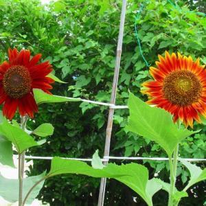 学校の花 自宅の花