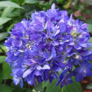 自宅の紫陽花 シレネとネモフィラブルーの種採りしたよ