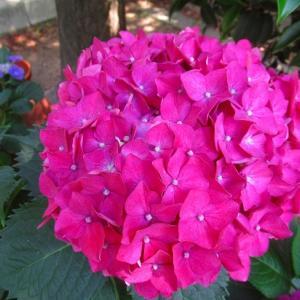 紅い紫陽花に元気をもらって(^o^)/