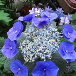 円形花壇植え付けその後&ガクアジサイの真花