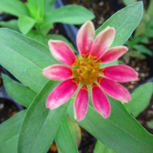 ジニアプロヒュージョンの一番花はこの色(^o^)/