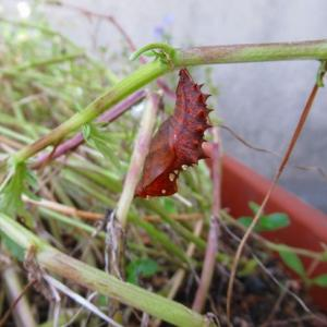苗の植え付け一丁揚がり&ツマグロヒョウモン蝶のさなぎ