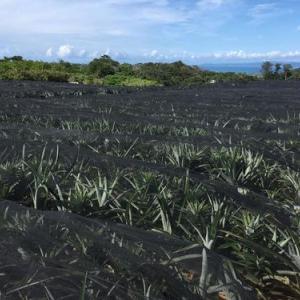 今が旬の沖縄パイナップル