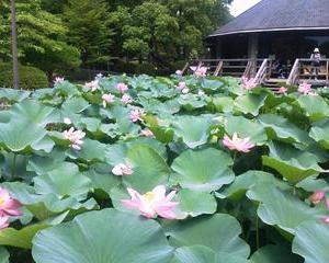 「小暑」。そして、「七夕」。梅雨末期。蒸し暑い東京。が、鳥取や島根では集中豪雨。附「雨の夜の品定め」。