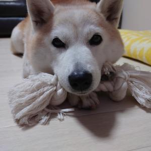 柴犬ちゃん。。。11歳*