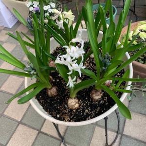 店先の鉢花
