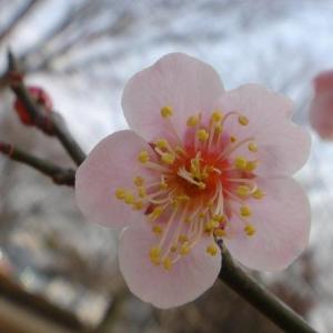 東風(こち)吹かば匂(にほ)ひおこせよ梅の花主(あるじ)なしとて春を忘るな・・・