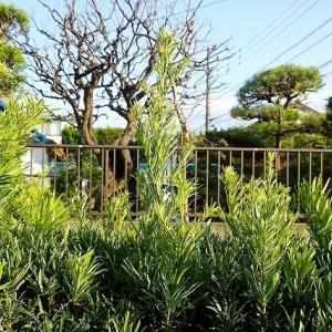 休日のお仕事@鎌倉七里ガ浜(3) 今年最後の生垣の刈り込み