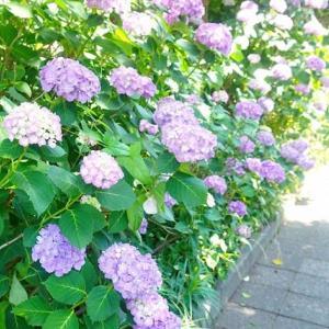 鎌倉市七里ガ浜東の緑のプロムナードと桜のプロムナードはアジサイだらけですよ / 汁なし担々麺(ただしうどん)