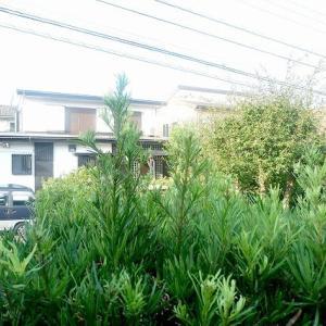 生垣のなんちゃって刈り込み@鎌倉七里ガ浜