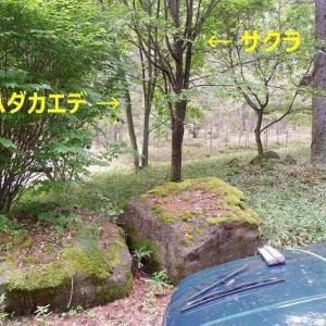 八ヶ岳西麓原村にこもる(3) ウリハダカエデの成長