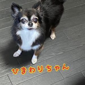 チワワ小隊withマル♪♪*ˊᵕˋ)੭