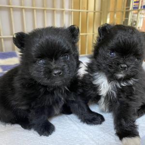 子犬+子犬+子犬。。。‧˚₊*̥(∗︎*⁰͈꒨⁰͈)‧˚₊*̥