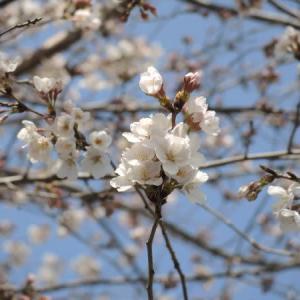 こんな時でも桜はきれいに咲いて・・・