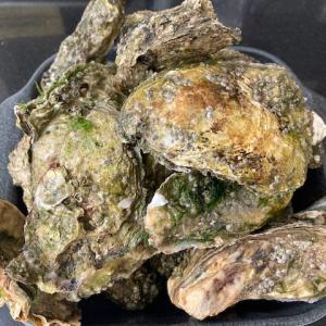 オランダZeelandの牡蠣